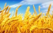 Закуповуємо пшеницю,  ріпак,  кукурудзу,  ячмінь