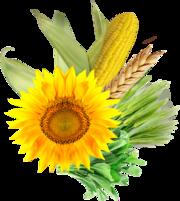 Закупаю пшеницу,  ячмень,  рапс,  подсолнечник