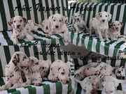 далматин щенки 2 месяца