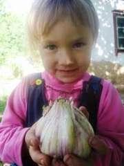 Семена чеснока (воздушка) оптом