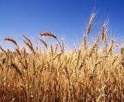 Куплю пшеницу рапс подсолнечник ячмень